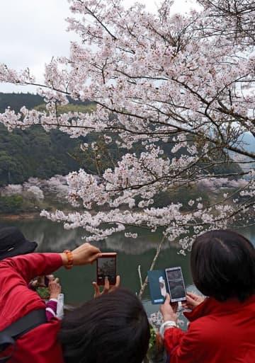 満開となった市房ダム湖畔の桜を撮影する観光客=水上村