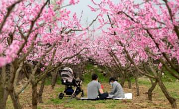 春を彩る桃の花が満開 陝西省西安市