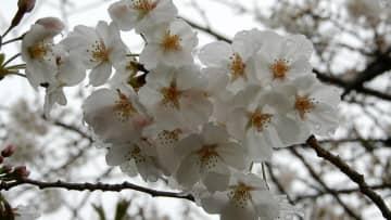 雨に濡れながら花を咲かせる桜(京都市左京区)