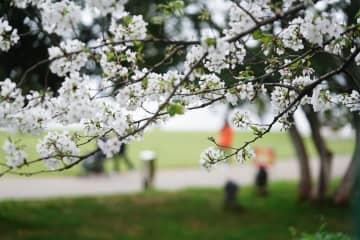 贛江のほとりで桜が見頃に 江西省南昌市