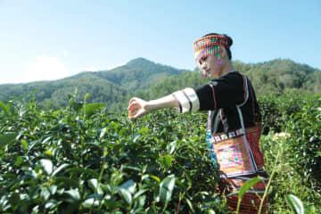 「中国最南端の有機高山茶」 収穫がまもなく終了 海南省