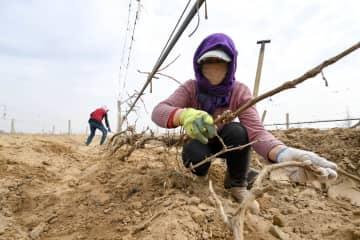 春の風物詩、ブドウのつるの掘り出し始まる 寧夏回族自治区