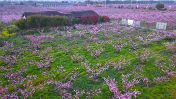 スイミツトウの里で桃の花が満開 江蘇省無錫市