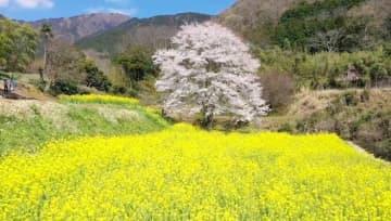 【オンラインお花見】25年でようやく花つけた里山の一本桜 元気を日本中に届ける   画像