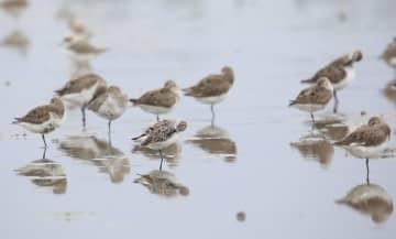 広東省湛江市で絶滅危惧種のヘラシギ34羽を確認