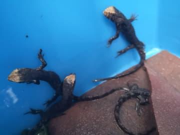 広東省羅坑でチュウゴクワニトカゲ46匹が誕生