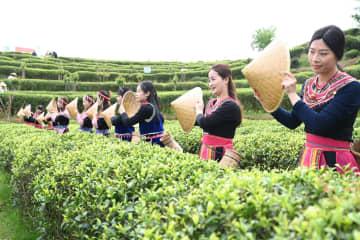 茶摘みの季節到来 福建省福州市