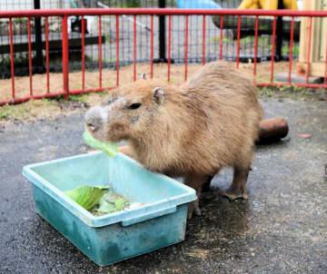 今日から動物園で公開されるカピバラのガル君(福知山市猪崎・市動物園)