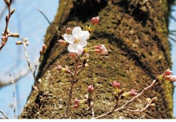 桜のつぼみもふっくら赤くソメイヨシノ開花まもなく@平塚市総合公園