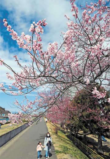 広瀬川沿いで桜が咲き始め、遊歩道を歩く人たちの目を楽しませていた=28日午前10時50分ごろ、仙台市若林区河原町