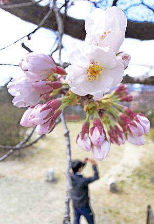 観測が始まってから最も早く開花した桜の標本木=福島市・信夫山公園