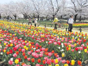 チューリップと桜が楽しめる深谷グリーンパーク=深谷市樫合