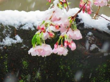 桜が咲く中、東京で大雪=中国ネット「雪の中の桜がこんなにも美しいとは知らなかった」