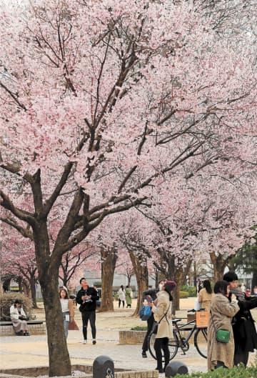市民が思い思いに桜の花を楽しんだ=28日午後3時45分ごろ、仙台市青葉区の錦町公園