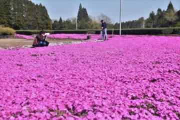 ピンクのじゅうたんのようにシバザクラが咲き誇る久木野集落