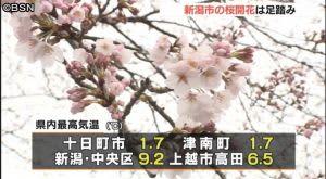 新潟市の桜開花は足踏み