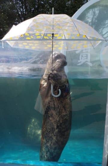 傘を差す姿が人気のゼニガタアザラシ「水雨」