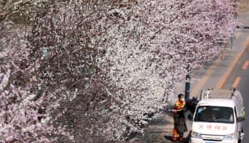 バス停で桃の花が満開に 遼寧省大連市