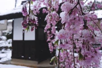 東京で51年ぶりに満開後の積雪 思わぬコラボに感嘆する声が続々