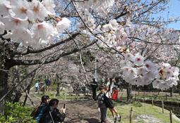 春満ちる住宅街 神戸の公園で桜見頃