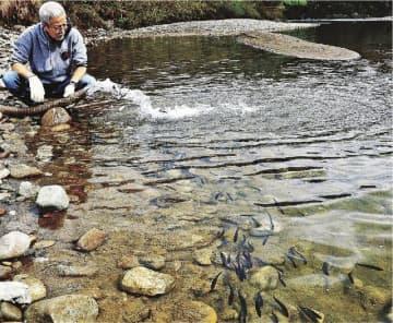 川に放たれて元気よく泳ぐ稚アユの群れ(和歌山県古座川町一雨で)