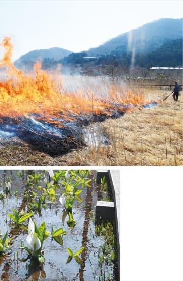 復元区を燃え広がる炎(上)とミズバショウの花 =3月19日