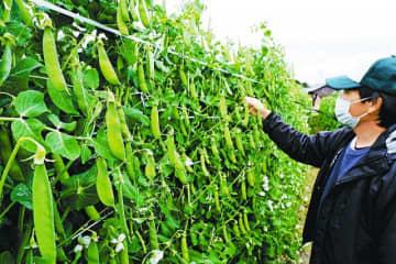 例年より早く収穫のピークを迎えているウスイエンドウ(30日、和歌山県みなべ町山内で)