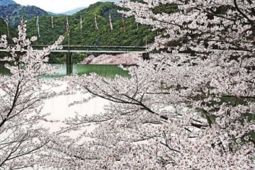 桜の淡いピンク色に包まれる島ノ瀬ダム(30日、和歌山県みなべ町で)