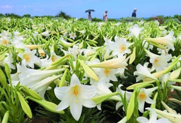 ゆり祭り会場に咲く真っ白なテッポウユリ=2019年4月、伊江村リリーフィールド公園