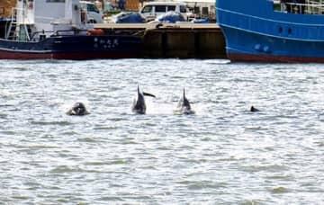酒田港内に姿を現したイルカ=25日午前10時ごろ、酒田市(酒田海上保安部提供)
