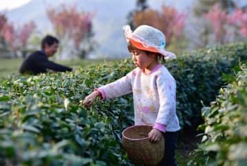 春の茶摘み始まる 陝西省紫陽県