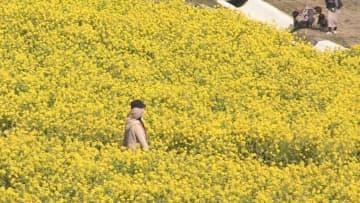 あわじ花さじきで菜の花が見頃 淡路市の花の名所