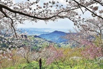 田辺湾を望む景勝地にあるひるね茶屋で、見頃を迎えたサクラとハナモモ(2日、和歌山県田辺市長野で)