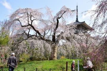 見頃を迎え、見物客の心を癒やしている浄専寺のしだれ桜