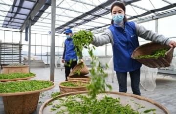 茶摘みの季節到来 白茶の生産に追われる業者 福建省