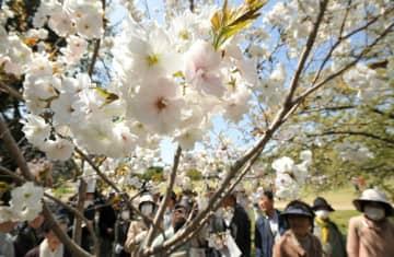 多様な品種の桜を楽しむ参加者たち(2018年4月、京都市左京区・府立植物園)