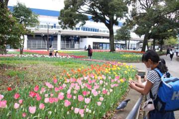 風に揺れるチューリップを足を止め、撮影する人も多く見られた=横浜市中区