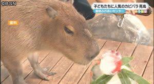 カピバラ「こたろう」死ぬ 老衰か 新潟市動物ふれあいセンター