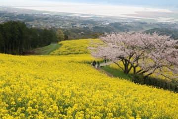 諫早湾を一望できる高台に広がる菜の花とサクラ=諫早市、白木峰高原