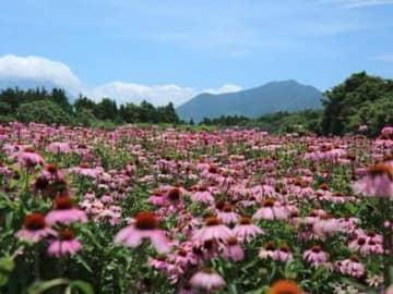 鳥取県、大山の麓に広がる、美しい紫の花「エキナセア」。その優れたハーブエキスは、アメリカやドイツなどで、免疫力増強の目的で古くから飲用されてきた