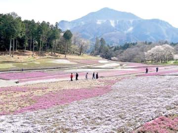 芝桜の丘は例年より早くシバザクラが開花していたが、芝桜まつりは中止となった=3日午後1時10分、秩父市大宮の羊山公園
