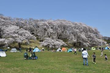 満開の桜の下でピクニックを楽しむ家族連れ=4日午前、横浜市中区