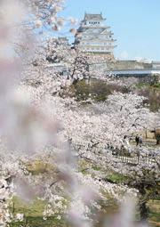ピンクの帯まとう城郭 国宝姫路城のサクラ満開