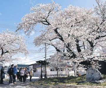 電車で市内の桜巡り 黒部の実行委 「乗り放題きっぷ」利用