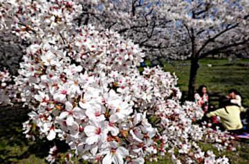 桜が見頃を迎え、写真撮影や散策を楽しむ姿が見られる一方、「周りに配慮しているので、シートを敷いて花見を楽しませて」との声も上がっている=5日、大阪市中央区の大阪城公園