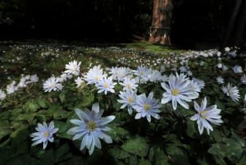 木漏れ日を浴びるユキワリイチゲ。直径3センチほどの花々が地面いっぱいに咲き誇る(3月19日、甲賀市土山町・瀧樹神社)