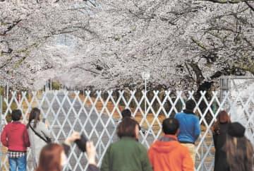 帰宅困難区域のフェンスの向こう側で、満開になった夜の森の桜
