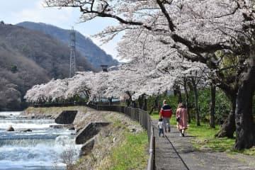 見頃を迎えた桜=箱根町宮城野