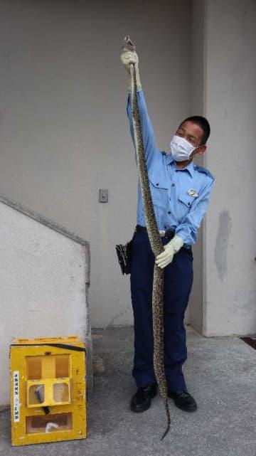 捕獲されたハブを持つ身長165センチの警察官=1日、本部署