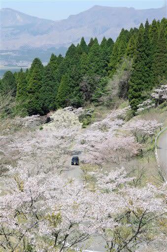 九十九曲がり「千本桜」が見頃 熊本県高森町